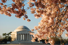 Jefferson Memorial During Cherry Blossom Bloom Stock Photo