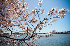 Jefferson Memorial through Cherry Blossoms Stock Image