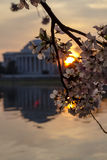 Jefferson Memorial with Cherry Blossoms at Sunrise with Cherry Blossoms Stock Images