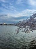 Jefferson Memorial durante las flores de cerezo Imágenes de archivo libres de regalías