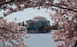 Jefferson Memorial framed by blossoms. Cherry Blossoms surround Jefferson Memorial framing the monument in flowers royalty free stock photo