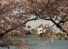 Jefferson Memorial framed by Cherry Blossom. Jefferson Monument framed by cherry blossoms in Washington DC royalty free stock photo