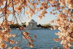 Jefferson Memorial Framed by Cherry Blossoms Stock Photo