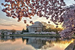 Jefferson Memorial and cherry blossoms at sunrise