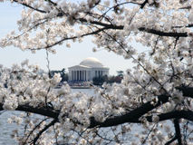 Jefferson Memorial II. Color photo of the Jefferson Memorial during the Cherry Blossom Festival stock image