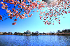 Jefferson memorial in National cherry blossom fest Stock Image