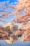 Jefferson Memorial under Cherry Blossom Festival royaltyfri fotografi