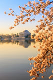 Jefferson Memorial under Cherry Blossom Festival Arkivfoton
