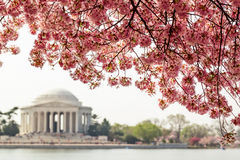 Jefferson Memorial under cherry blossom trees. Pink cherry blossom trees in bloom on the Tidal Basin over the Jefferson Memorial in Washington DC Royalty Free Stock Photos