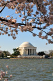 Jefferson Memorial während Cherry Blossom Festivals Stockbilder