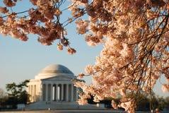Jefferson pomnik Podczas Czereśniowego okwitnięcia kwiatu Zdjęcie Stock