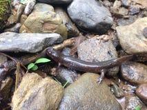 Jefferson Salamander Στοκ εικόνες με δικαίωμα ελεύθερης χρήσης