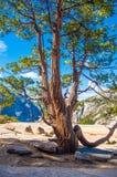 Jeffery Pine Tree överst av Nevada Falls Yosemite Panorama Trail Fotografering för Bildbyråer