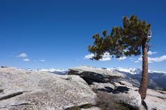Jeffrey Pine Royalty Free Stock Photos