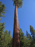 Jeffrey Pine Stock Photography