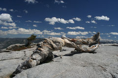 Jeffrey Pine, Sentinel Dome, Yosemite Royalty Free Stock Photo