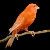 jego okonia czerwone kanarek Fotografia Royalty Free