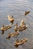 jej matka kaczek kaczątka Obrazy Royalty Free