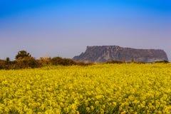 Jeju Island. Canola field at Jeju-do Seongsan Ilchulbong, Jeju, South Korea stock photo