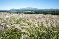 Sangumburi Crater silver grass royalty free stock photo