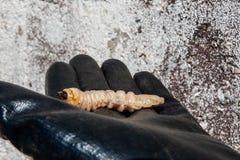 Jeleń ścigi larwa przy pupal sceną na ręce obrazy royalty free