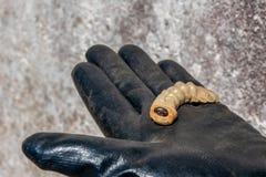 Jeleń ścigi larwa przy pupal sceną na ręce zdjęcie stock