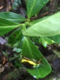 Jeleń ściga w liściu, piękni colours ten zadziwiający insekt zdjęcia stock