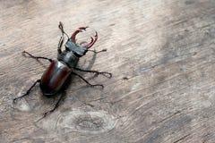 Jeleń ścigi Lucanus cervus na drewnianym tle Czerwonego lista rzadkiego insekta makro- widok, płytkiej głębii pole Selekcyjna ost obraz stock