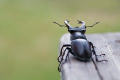 Jeleń ścigi Lucanus cervus na drewnie Czerwonego lista rzadkiego insekta makro- widok, płytkiej głębii pole Selekcyjna ostrość Zdjęcie Stock