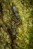 Jeleń ścigi Lucanus cervus na gałąź zdjęcia stock