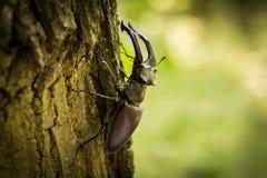 Jeleń ścigi Lucanus cervus na gałąź zdjęcie stock