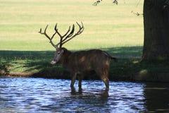 jeleń chłodnicza woda Zdjęcie Royalty Free