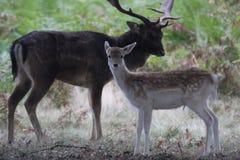 Jeleń i jego kobieta obrazy stock