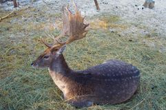 jeleń jarzębaty Fotografia Royalty Free