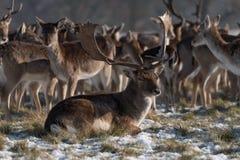 Jeleń kłama w śnieżnym parku z stadem zdjęcia royalty free