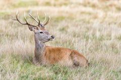 Jeleń lub jeleń męski czerwony rogacz Zdjęcie Royalty Free