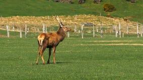 Jeleń na jelenim gospodarstwie rolnym przy mossburn w nowym Zealand obrazy royalty free