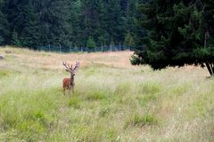 Jeleń w parku obraz royalty free