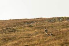 Jeleń w Szkockich średniogórzach obrazy stock