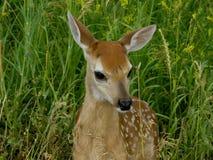 jeleń dziecka Zdjęcie Stock