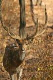 jeleń zatrzymał Fotografia Royalty Free
