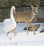jeleni łabędź Zdjęcia Royalty Free
