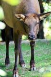 jeleni łoś Zdjęcia Royalty Free