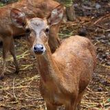 jeleni żeńscy potomstwa Zdjęcia Royalty Free