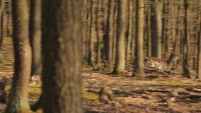 Jeleni bieg w lesie zbiory wideo