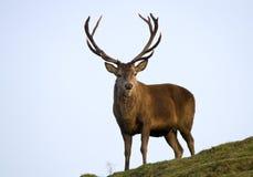 jeleni czerwony jeleń Fotografia Stock