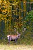 jeleni czerwony jeleń Fotografia Royalty Free