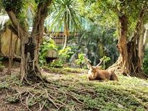 Jeleni dosypianie pod drzewem Fotografia Royalty Free