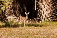 jeleni Florida Obraz Stock