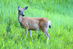 jeleni hemionus muła odocoileus Fotografia Royalty Free